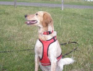 Hund an Geschirr und Schleppleine - bereit fürs Hundetraining