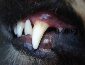 Zähne-Hund