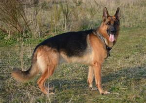 german-shepherd-404087