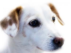 Hund_weiss