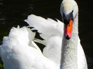swan-18829_640