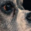 Wenn unser Hund eine Graue Schnauze bekommt